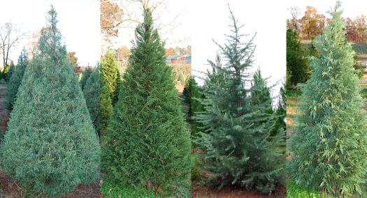 Christmas Tree Farm Choose Cut Your Own, Living, Pre Cut