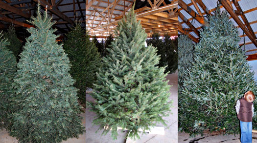 christmas tree care caring for a cut christmas tree kinsey family farm. Black Bedroom Furniture Sets. Home Design Ideas