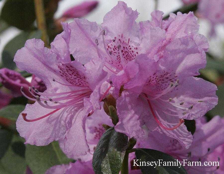 Rhododendron Shrubs For Sale Georgia Kinsey Family Farm