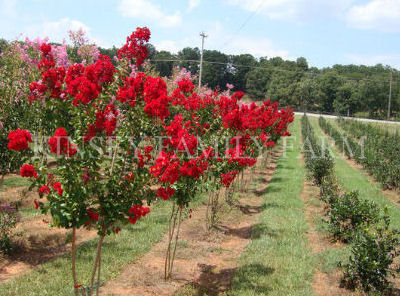 Crape Myrtle Trees For Sale Georgia Kinsey Family Farm