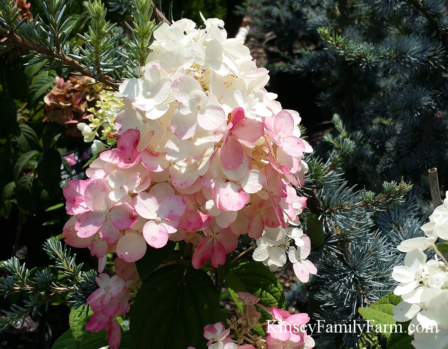 Hydrangeas Plants for Sale Georgia - Kinsey Family Farm ...   900 x 700 jpeg 181kB