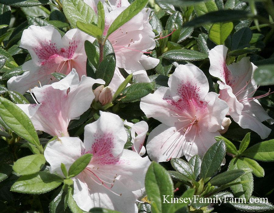 Azalea Plants For Sale Georgia Kinsey Family Farm Kinsey