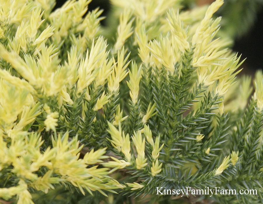 Juniper Plants For Sale Groundcover Shrub Kinsey Family