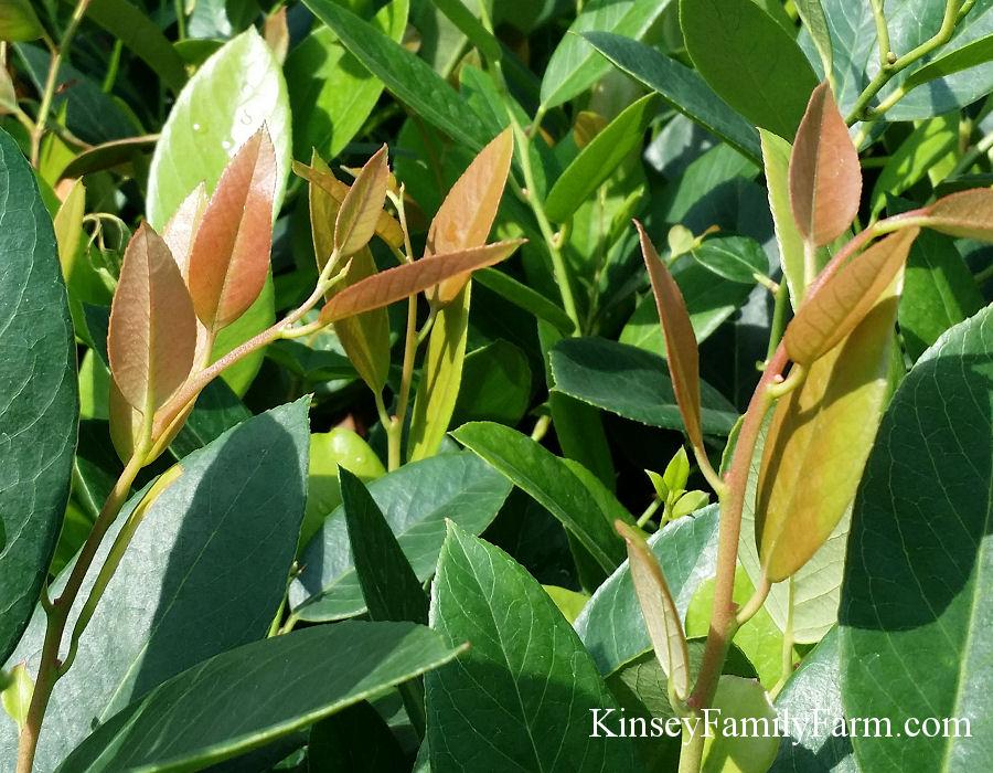 Native Plants Shrubs For Sale Georgia Kinsey Family Fa