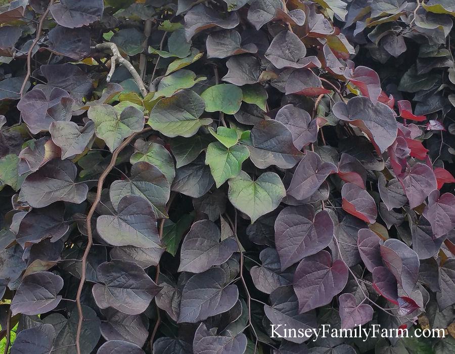 Eastern Redbud Trees For Sale Georgia Kinsey Family Farm