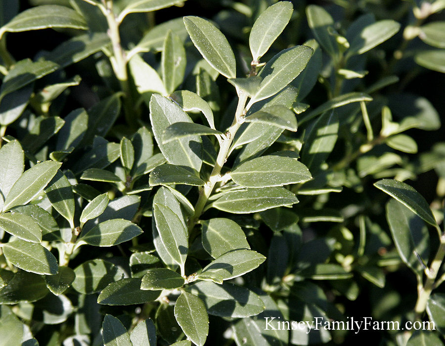 Kinsey Family Farm Hoogendorn Dwarf Japanese box leaved holly