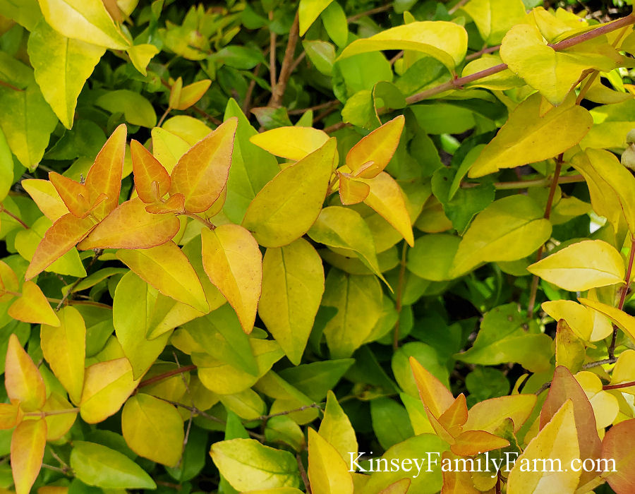 Kinsey Family Farm Peach Perfection Abelia