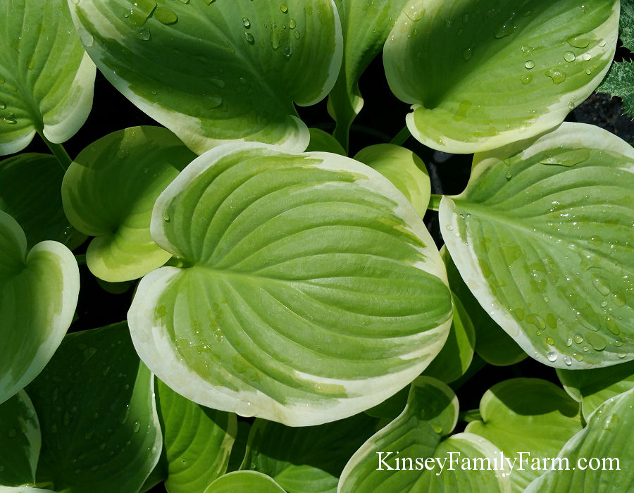 Kinsey Family Farm Fragrant Bouquet Hosta Plant