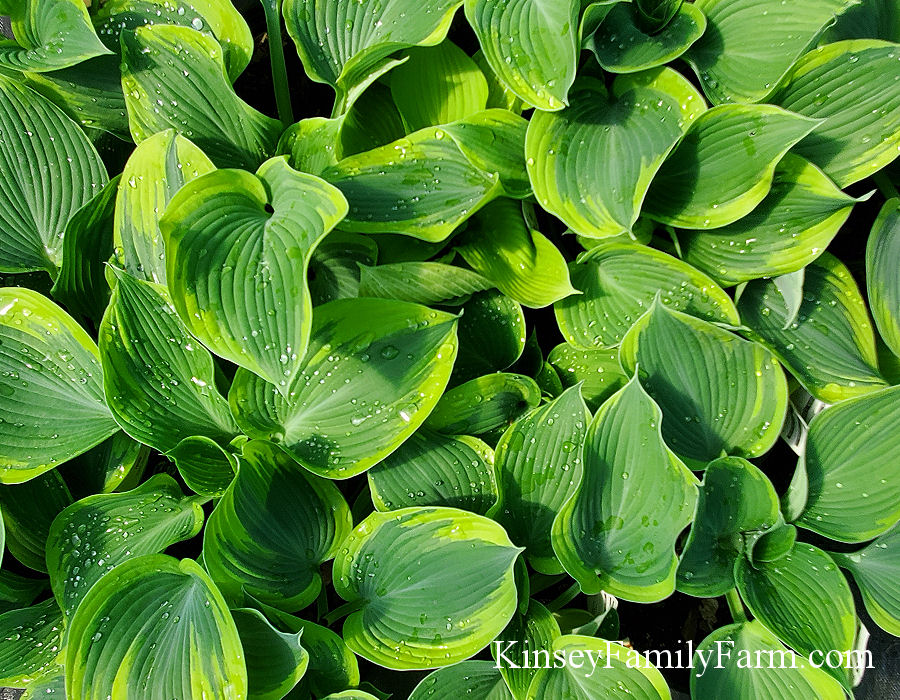 Kinsey Family Farm Giant Earth Angel Hosta