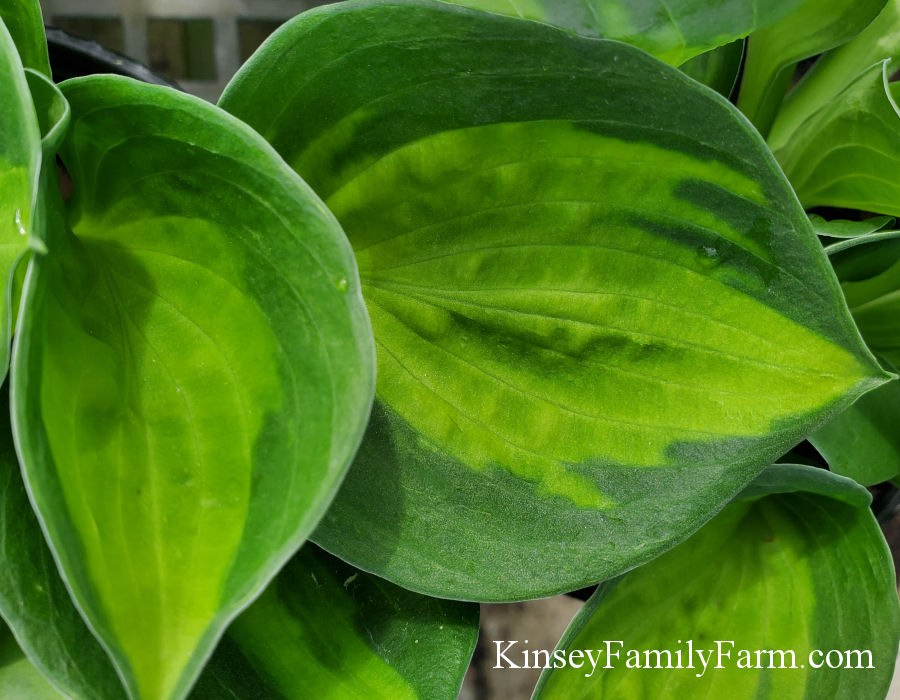 Kinsey Family Farm Sunset Grooves Hosta Plant