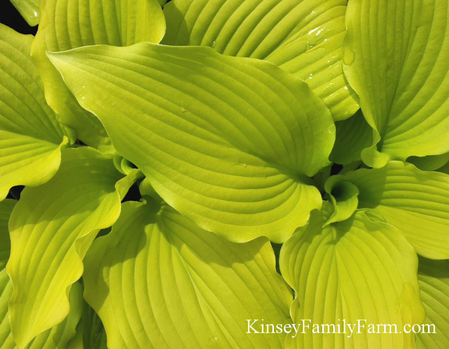 Kinsey Family Farm Dancing Queen Hosta