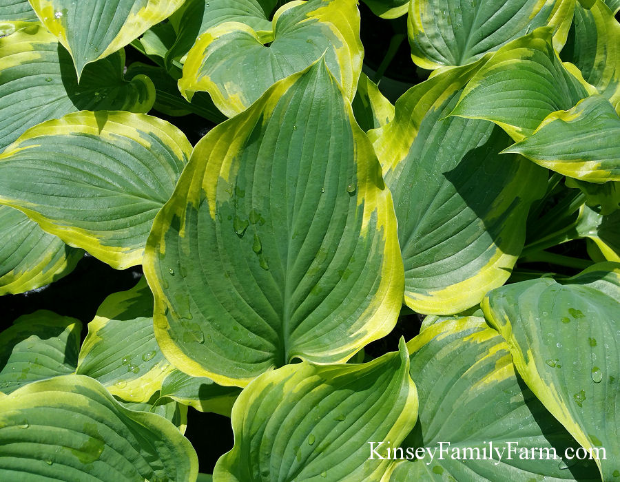 Kinsey Family Farm Seducer Hosta Plant