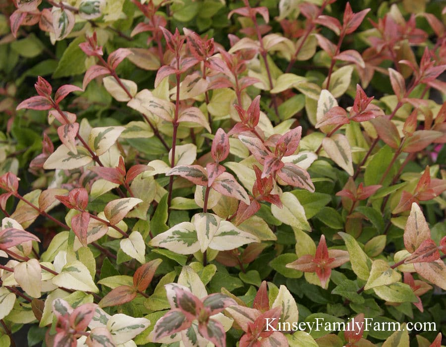 Abelia Plants For Sale Georgia Garden Shrubs Kinsey Family Farm
