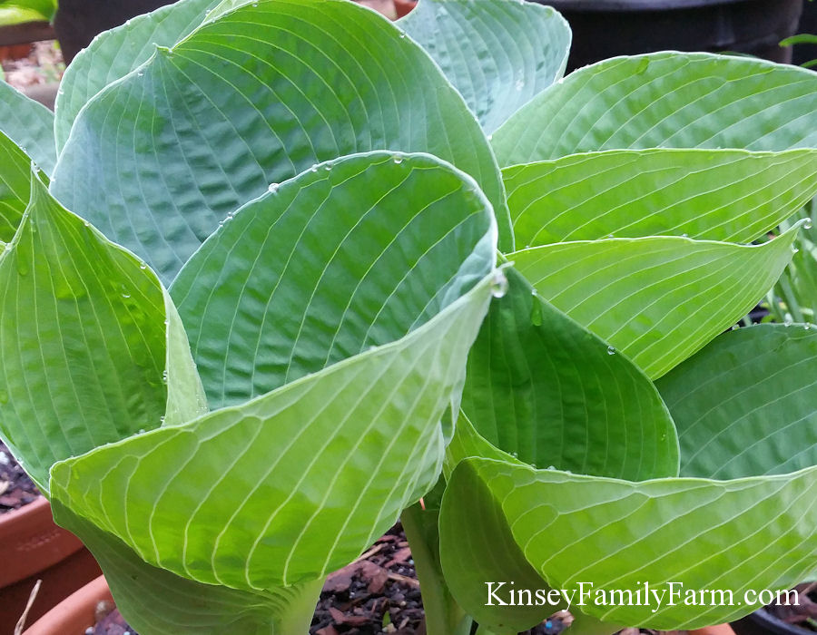 Hostas For Sale >> Plantain Lily Hosta Plants For Sale Kinsey Family Farm