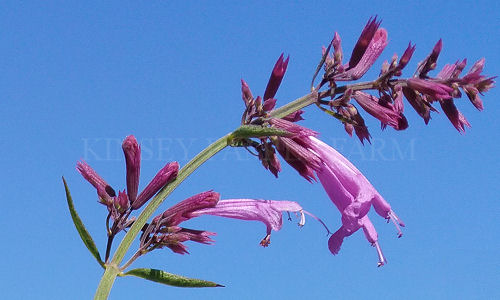 Plants to attract hummingbirds garden flowers kinsey family farm hummingbird garden perennials mightylinksfo