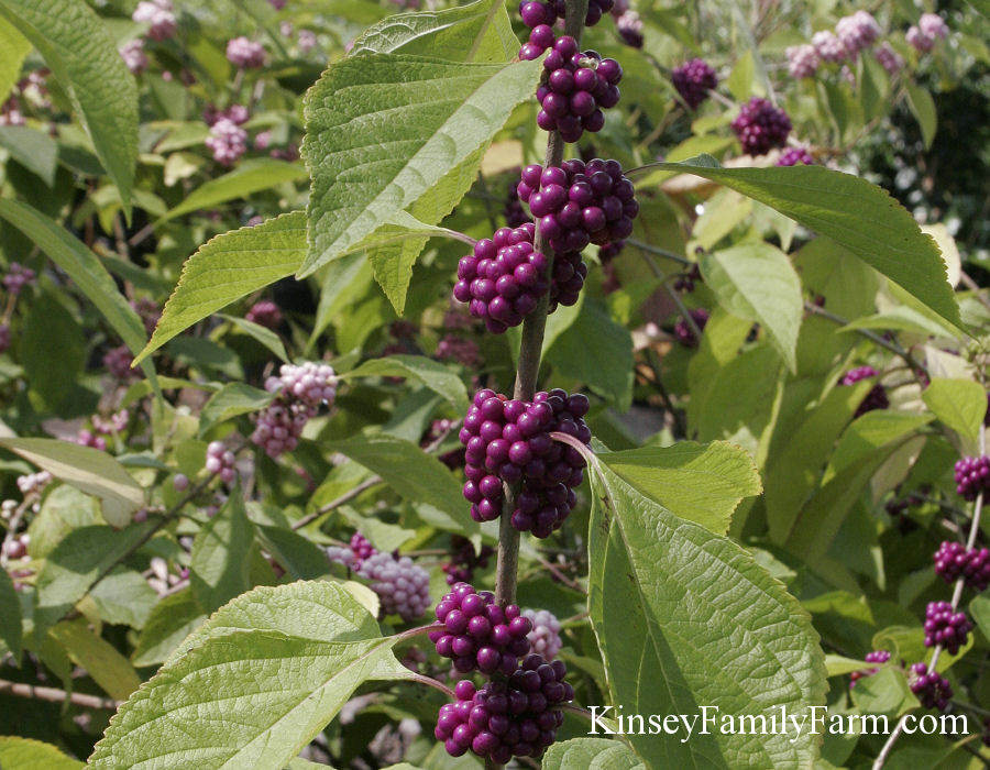 Kinsey Family Farm Beautyberry