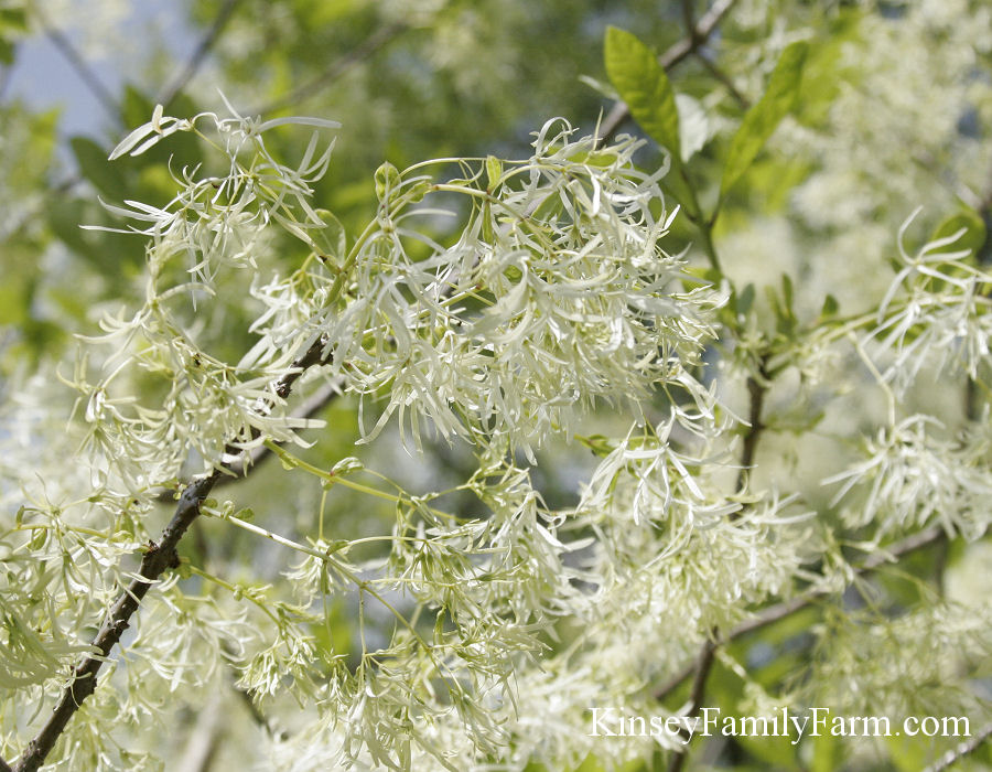 Kinsey Family Farm Chionanthus virginicus American Fringe Tree