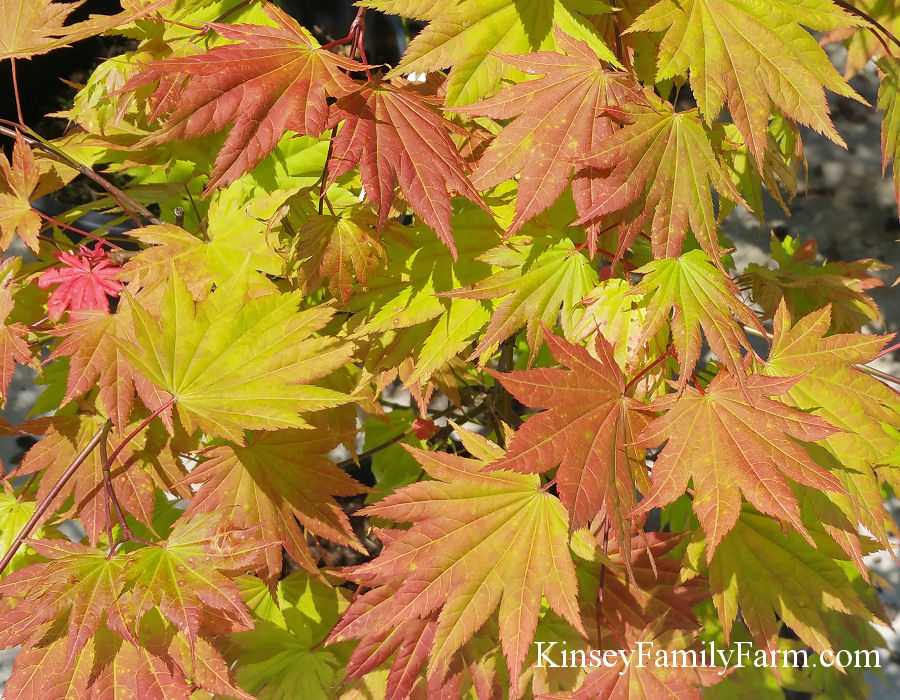 Japanese Maple Trees For Sale Georgia Kinsey Family Farm
