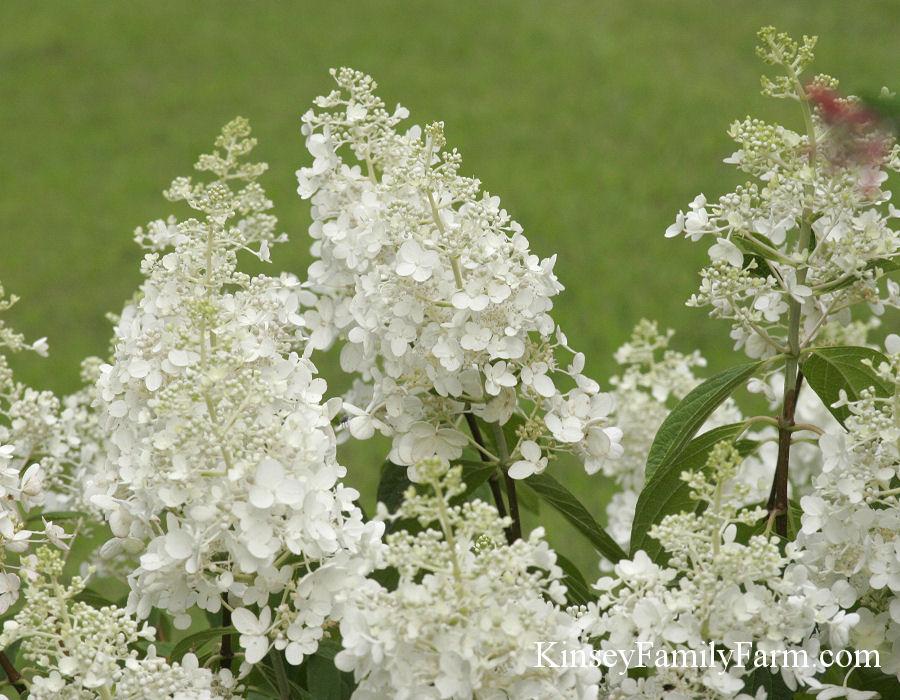 Hydrangeas Plants For Sale Georgia Kinsey Family Farm