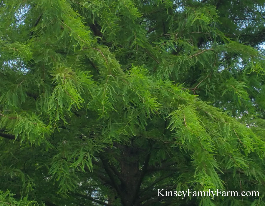 Kinsey Family Farm Taxodium distichum Baldcypress