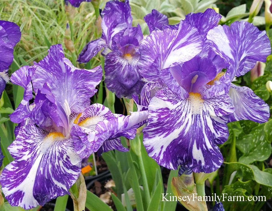 Perennials Iris For Sale Georgia Kinsey Family Farm