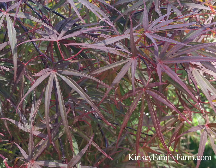 Butterfly Japanese Maple Tree Sevenstonesinccom