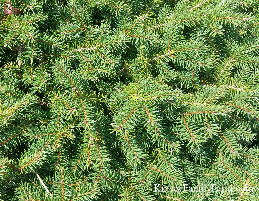 Kinsey Family Farm Bird's Nest Dwarf Norway Spruce
