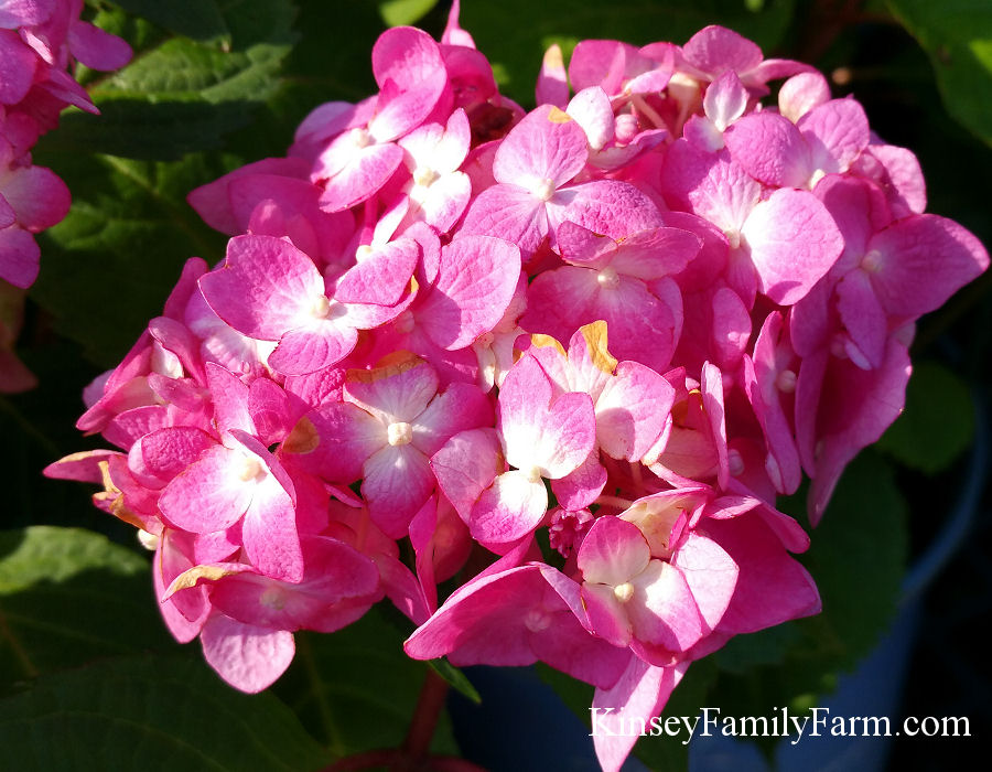 Kinsey Family Farm Endless Summer Bloomstruck Hydrangea