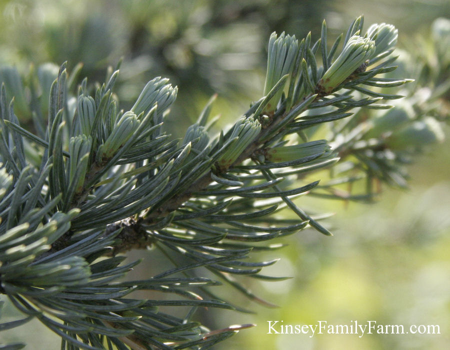 Kinsey Family Farm Blue Atlas Cedar