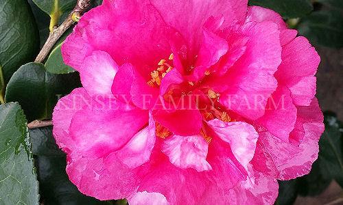 Camellia Shrubs For Sale Georgia Garden Kinsey Family Farm