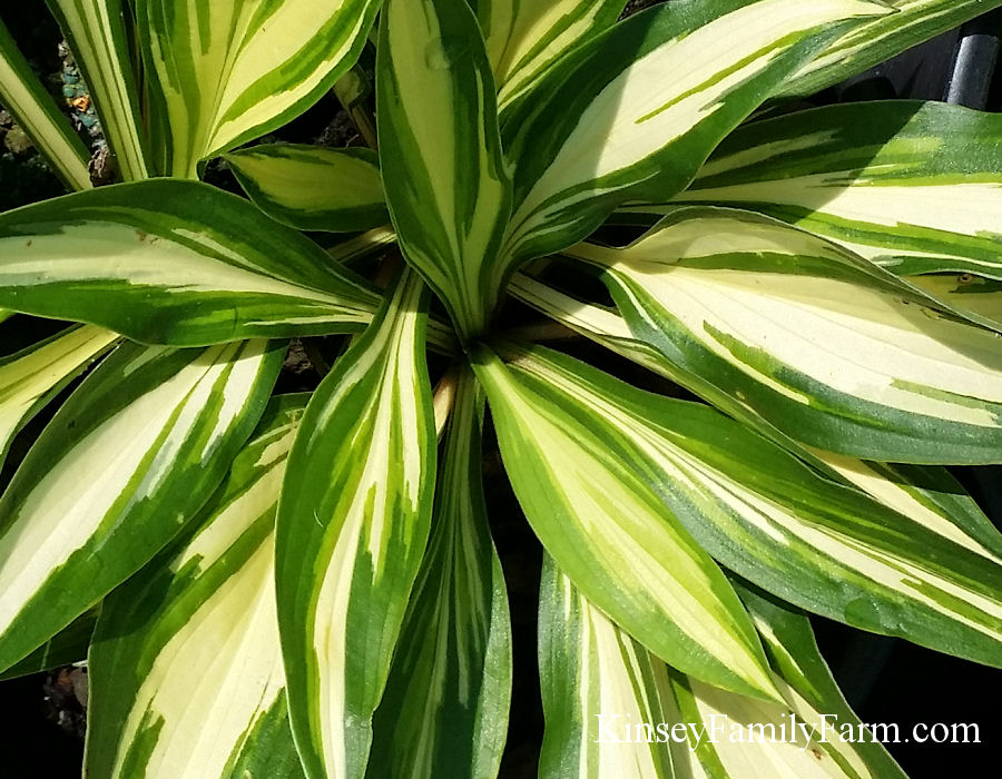 Kinsey Family Farm Cherry Berry Hosta Plant