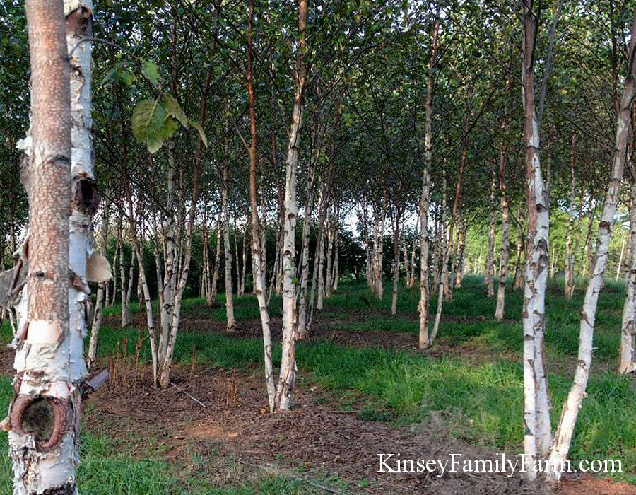 Kinsey Family Farm Betula nigra River Birch City Slicker