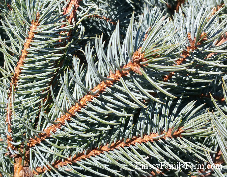 Kinsey Family Farm Picea pungens Colorado Blue Spruce