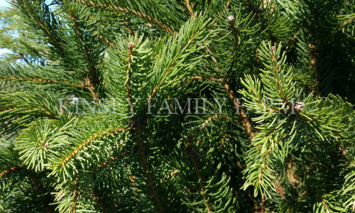 Kinsey Family Farm Columnar Norway Spruce