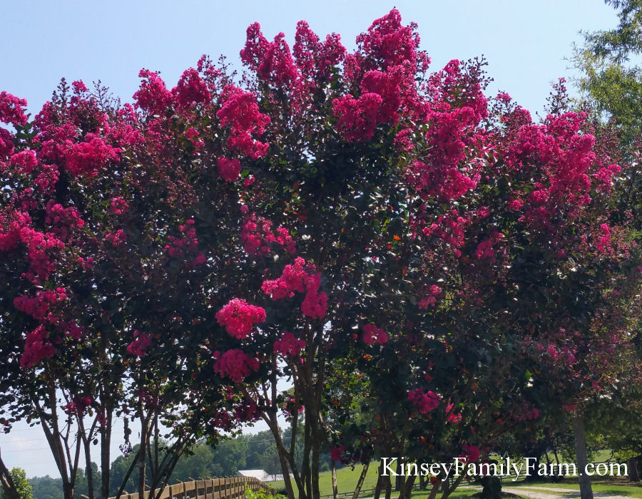 Kinsey Family Farm Pink Velour Crape Myrtle Tree