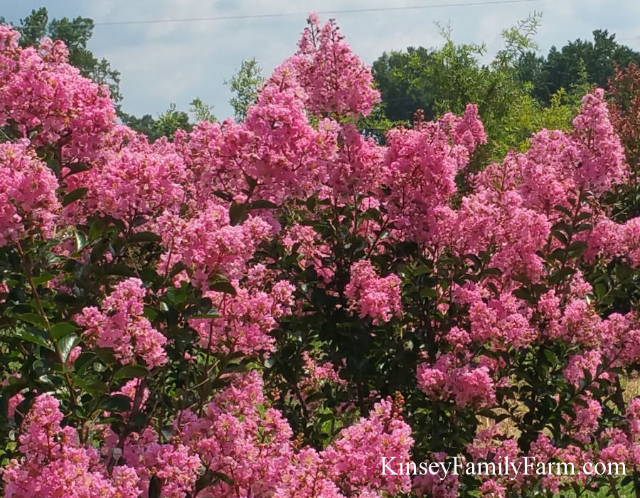 Kinsey Family Farm Sioux Crape Myrtle Tree
