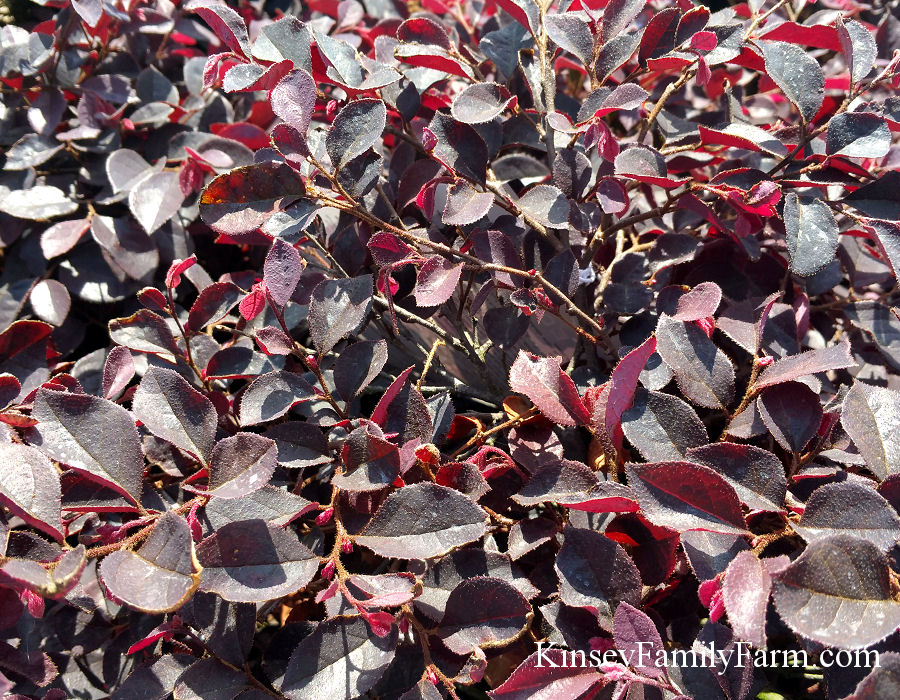 Kinsey Family Farm Crimson Fire Loropetalum