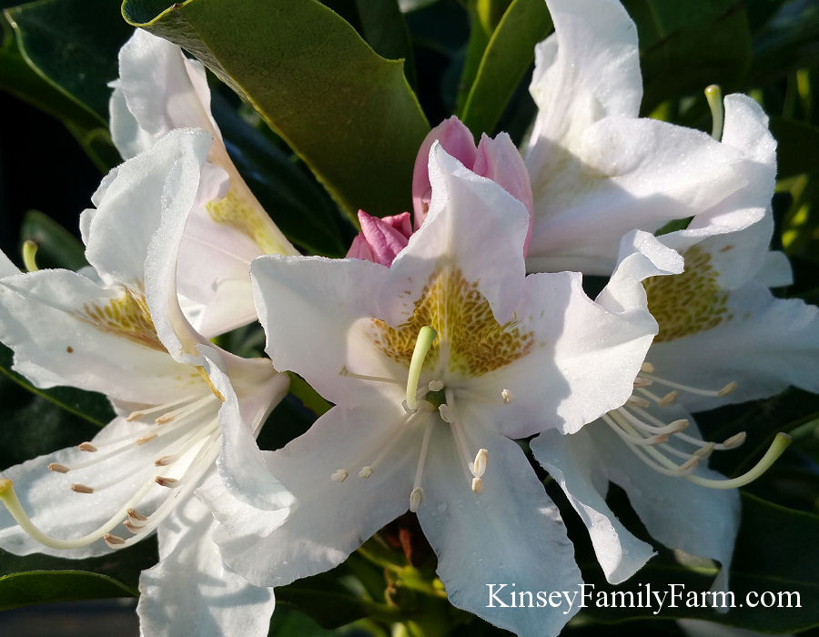 Kinsey Family Farm Cunningham's White Rhododendron