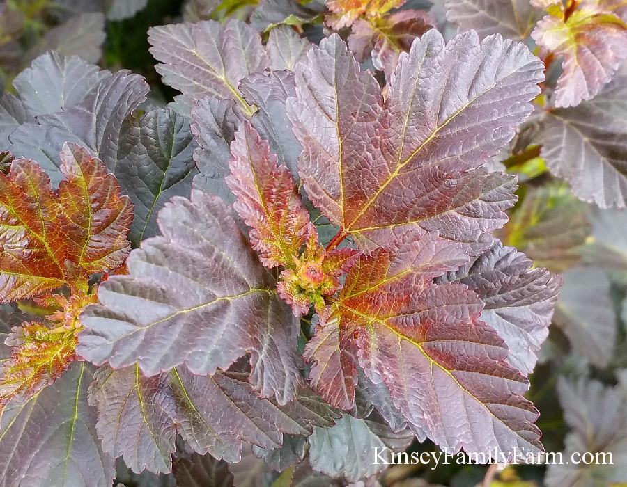 Ninebark Shrub Varieties For Sale Georgia Kinsey Family Farm