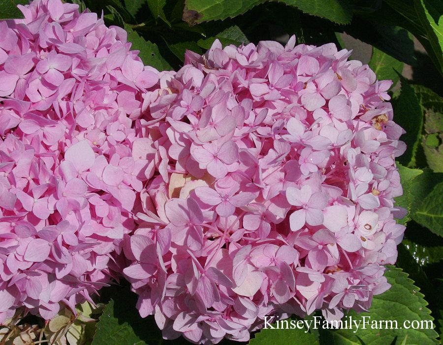 Hydrangeas Plants For Sale Georgia Kinsey Family Farm Kinsey
