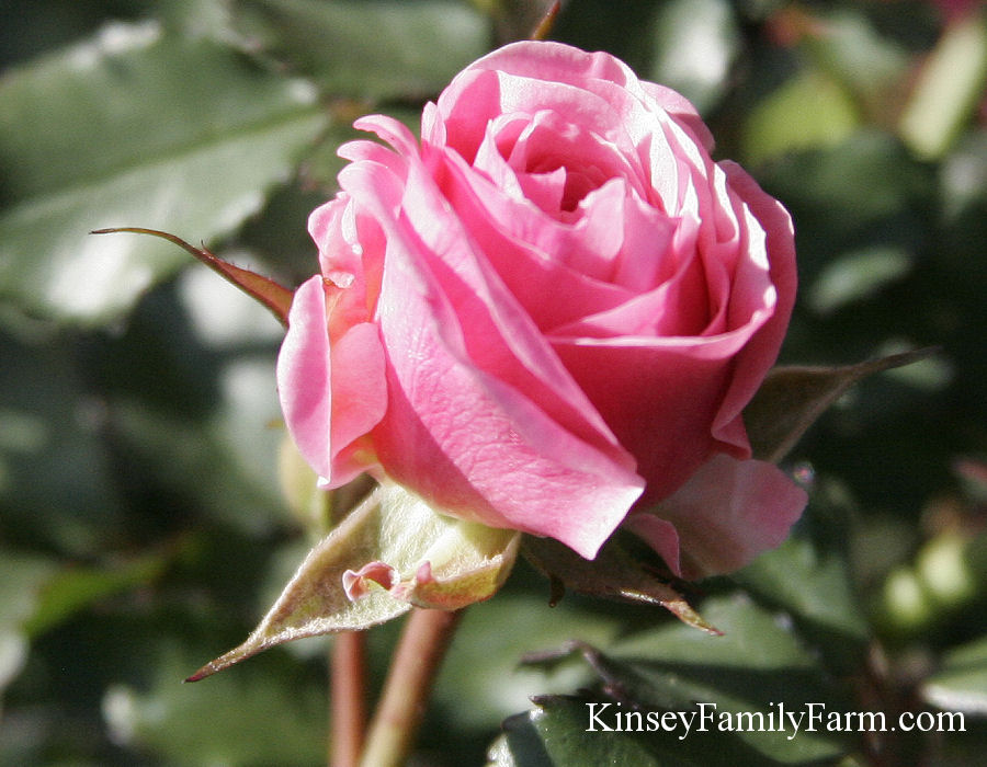 Kinsey Family Farm Drift Rose Pink