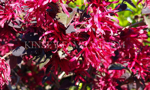Kinsey Family Farm Loropetalum Ever Red