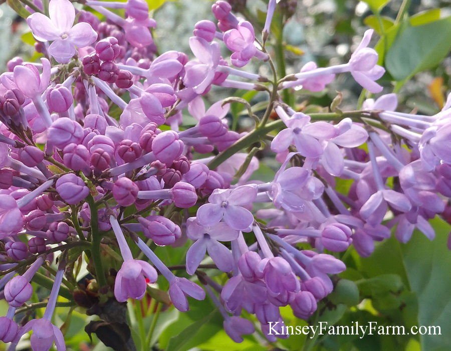 Kinsey Family Farm Lilac Excel