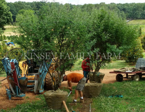 DIY How to Plant Balled and Burlapped Tree Kinsey Family Farm