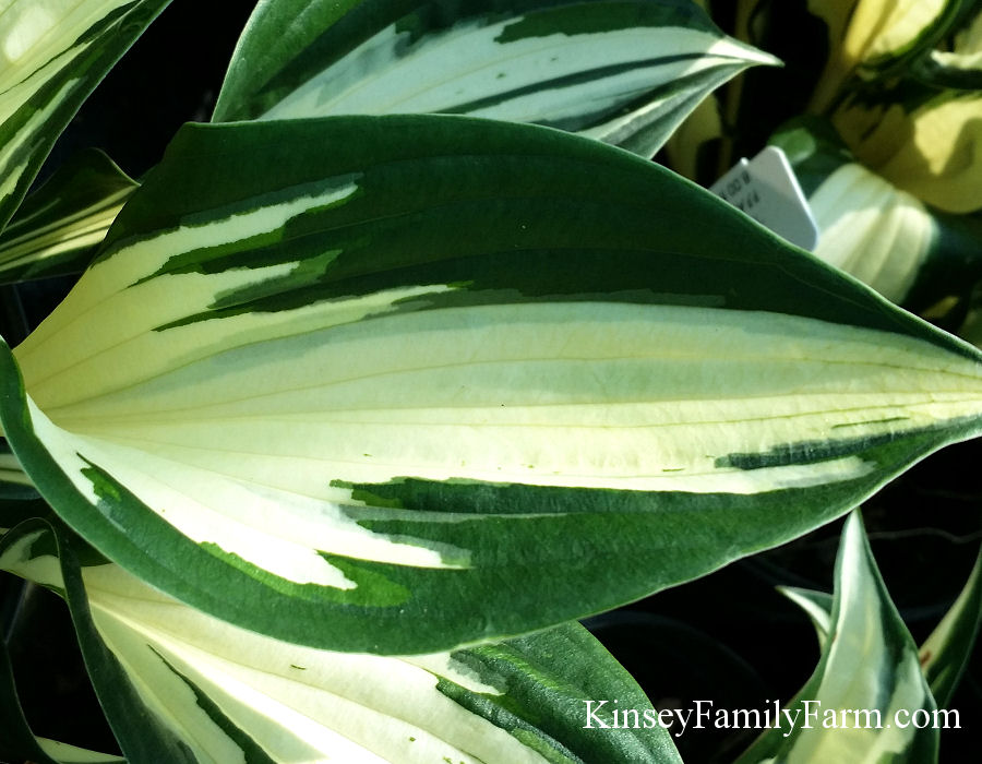 Kinsey Family Farm Fire and Ice Hosta