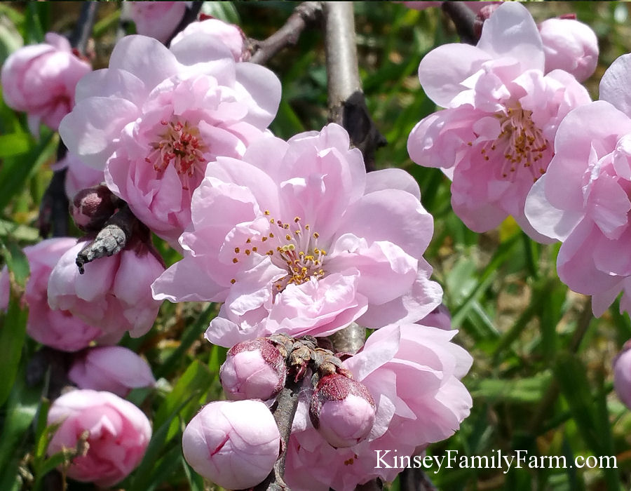 Ornamental Flowering Trees Ga Garden Center Kinsey Family Farm