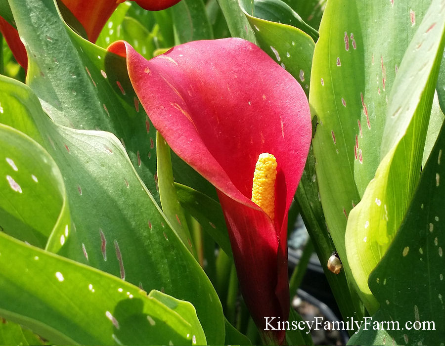 Perennials Calla Lily Plants For Sale Kinsey Family Farm