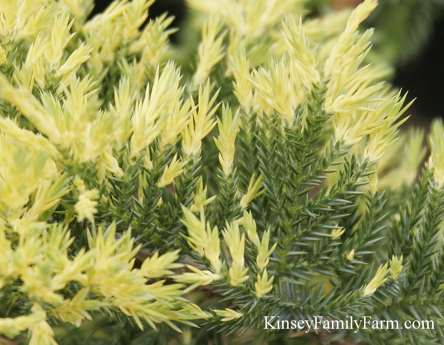 Kinsey Family Farm Gold Lace Juniper