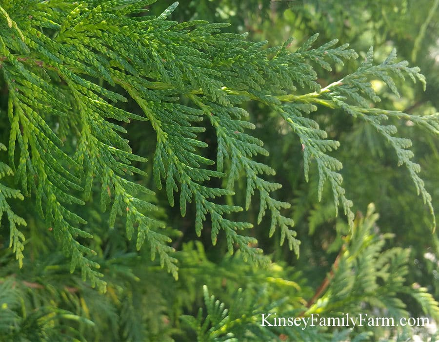 Fast Growing Evergreen Privacy Trees Kinsey Family Farm