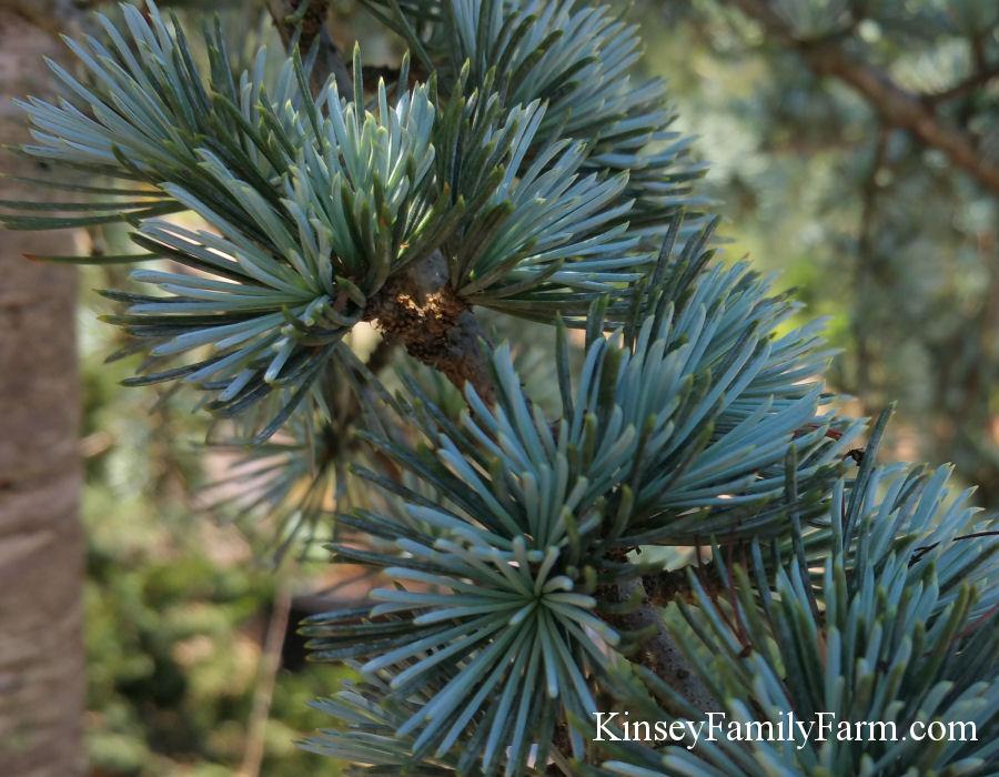 Kinsey Family Farm Dwarf Horstmann Blue Atlas Cedar